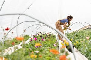 Seasonal worker picking flowers