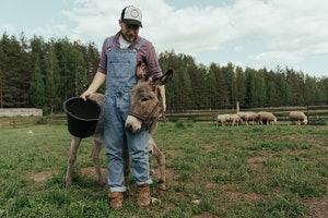 Farmer tending to a cow